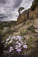 Phlox Flowers and Old Tree, Sierra Nevadas