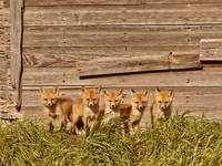 Five Little Foxes