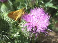 Thistle and Butterly