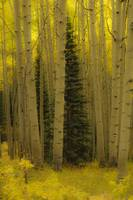 Aspen Grove in autumn
