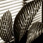 """BIG LEAVES AND SHADOWS"" by RWA"