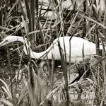 """THE STALKING EGRET"" by RWA"