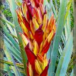 """Fire Dance of the Blue Agave"" by danturner"