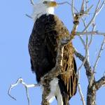 """American Bald Eagle"" by feagans_photography"