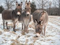 Fox Run Donkey's in Snow