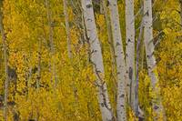 Hope Valley Aspens II