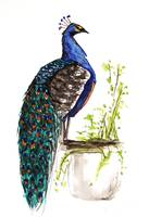 Peacock on Planter