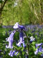 High Wood, Bluebells I