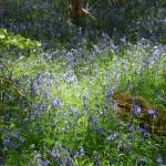 """High Wood, Bluebells II"" by MatthewJones"