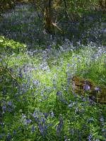 High Wood, Bluebells II