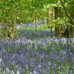 """High Wood Bluebells III"" by MatthewJones"