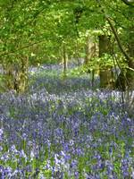 High Wood Bluebells III