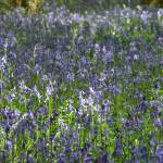 """High Wood, Bluebells IV"" by MatthewJones"