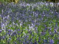 High Wood, Bluebells IV