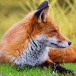 """""""Fox"""" by Brian60"""