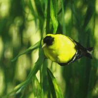 goldfinch in a willow