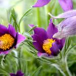 """purple pasqueflowers"" by mclcbooks"