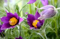 purple pasqueflowers