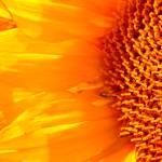 """Sunflower Macro 8"" by mclcbooks"