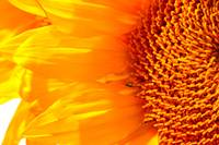 Sunflower Macro 8