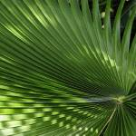 """Denver Botanic Gardens, Elephant Ear Palm"" by sethgoldstein72"