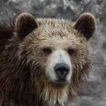 """""""young grizzly"""" by csjones"""