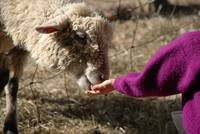 Child Feeding Sheep