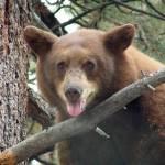 """young bear in tree"" by csjones"
