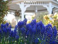 Blue by the Gazebo