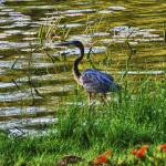"""Blue Heron"" by fotographics"