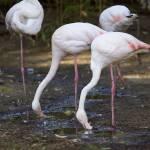 """Flamingos"" by Piero_Castellano"