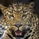 """""""Leopard"""" by Piero_Castellano"""