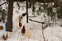 The wondering Chickens