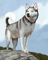 Cody in Charge - Siberian Husky