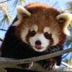 """""""Red Panda"""" by stqcb"""