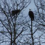 """""""Bald Eagle"""" by ART4YOUR2EYES"""