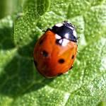 """Ladybird"" by rosemariesw"