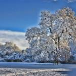 """Winter Snow on the Trull Meadows Oak"" by rosemariesw"