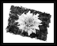 White Flower b&w