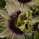 """Passion flower"" by Skyehc"