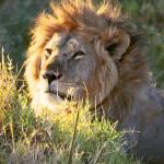 """Masai Mara Lion"" by valeska"