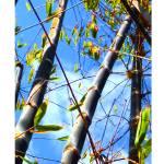"""Bamboo Trunks"" by randombeam"