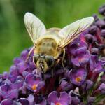 """Bee Fly on Buddlea"" by SeriousFunStudios"
