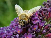Bee Fly on Buddlea