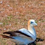 """Australasian Gannet in Grass"" by johncorney"