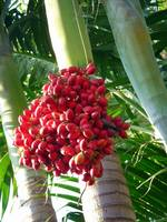 Palm Tree Seeds-II