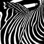 """Black & White Zebra stripes 1"" by Donshots"
