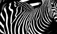 Black & White Zebra stripes 1