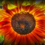 """Sunflower1"" by Sari_McNamee"