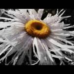 """""""Daisy 1-5"""" by Sari_McNamee"""